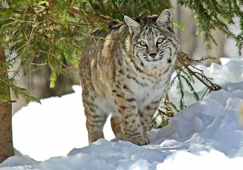 Bobcat(Lynx-rufus)-25