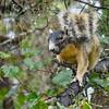 ShermanFoxSquirrel-OcalaNF-9-28-20-sjs-02
