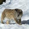 Bobcat(Lynx-rufus)-33