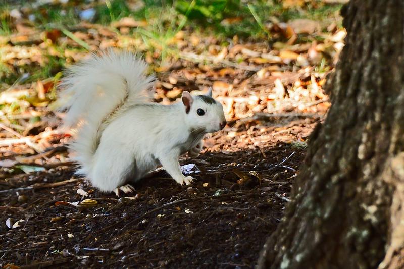 WhiteSquirrel-BrevardNC-11-3-18-SJS-01