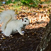WhiteSquirrel-BrevardNC-11-3-18-SJS-01