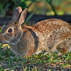 EasternCottontail-LakeYale-4-2-20-SJS-002