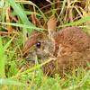 MarshRabbit-LAWD-4-1-18-SJS-002 (1)