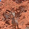 Bighorn Sheep - Valley of Fire State Park, Nevada, 6/28/2018-037