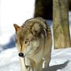 GrayWolf(Canis-lupus)-08