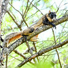 ShermanFoxSquirrel-OcalaNF-7-18-20-sjs-006
