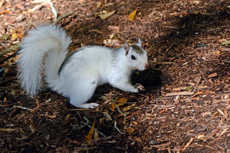 WhiteSquirrel-BrevardNC-11-3-18-SJS-26