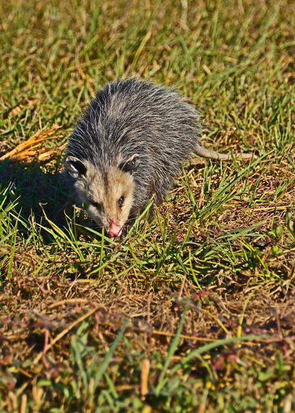 Opossum2016-SJS-007