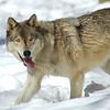 GrayWolf(Canis-lupus)-05