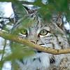 Bobcat(Lynx-rufus)-10