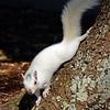 WhiteSquirrel-BrevardNC-11-3-18-SJS-11