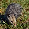 Opossum2016-SJS-009