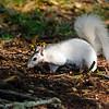 WhiteSquirrel-BrevardNC-11-3-18-SJS-10