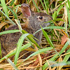 MarshRabbit-LAWD-6-19-20-SJS-01