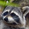 Raccoon-WSSP-MarionCoFL-2-8-19-SJS-004