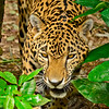 Jaguar-Bleize-2016-SJS-006