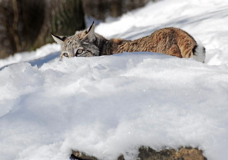 Bobcat(Lynx-rufus)-08