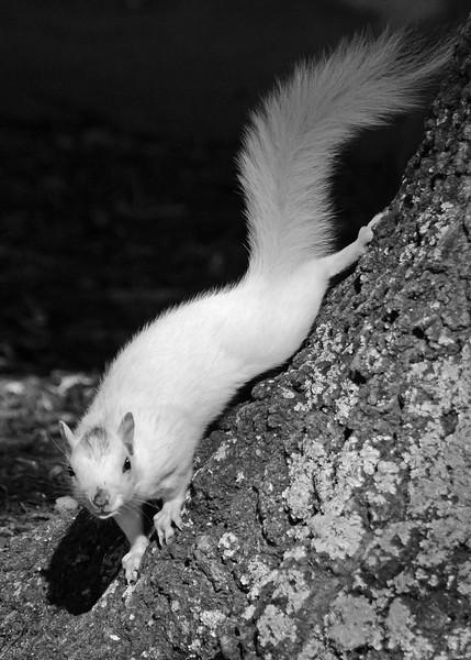 WhiteSquirrel-BrevardNC-11-3-18-SJS-13