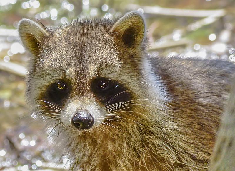 Raccoon-TrimblePark,FL-3-16-17-SJS-014