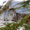 Bobcat(Lynx-rufus)-04