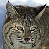 Bobcat(Lynx-rufus)-14