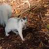 WhiteSquirrel-BrevardNC-11-3-18-SJS-22