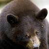 BlackBear(cinnamon)-004