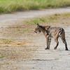Bobcat-LAWD-7-6-19-SJS-002