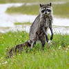 Raccoons-MerrittIslandNWR-5-1-19-SJS-003