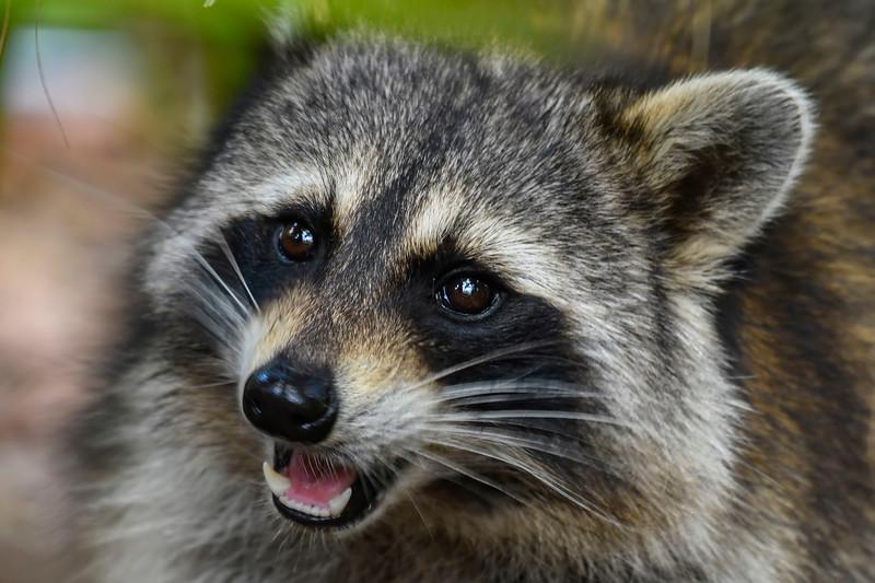 Raccoon-WSSP-MarionCoFL-2-8-19-SJS-007