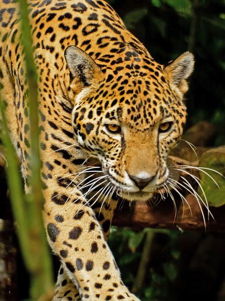 Jaguar-Bleize-2016-SJS-004