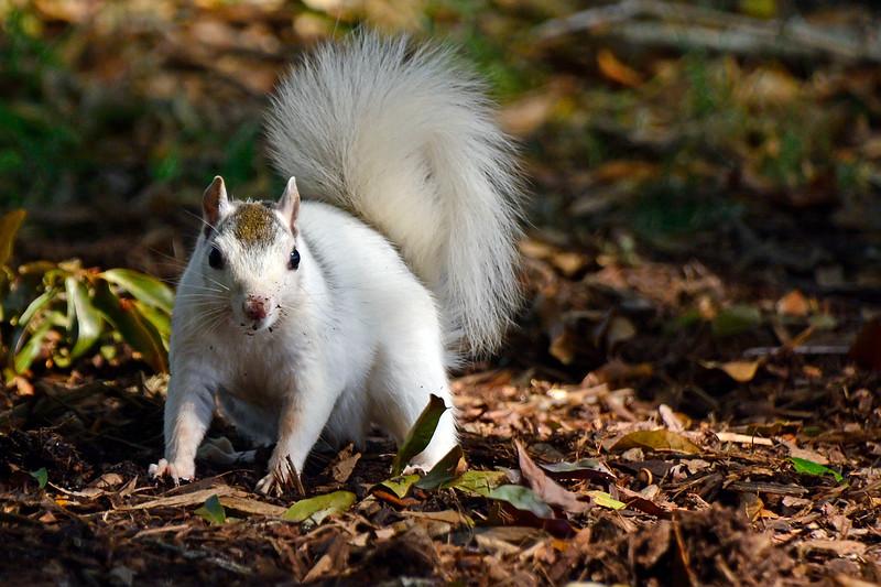 WhiteSquirrel-BrevardNC-11-3-18-SJS-09