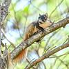 ShermanFoxSquirrel-OcalaNF-7-18-20-sjs-008
