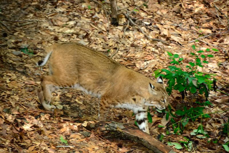 Bobcat-2015-005