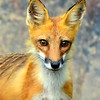 RedFox-2014-sjs-003