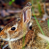 EasternCottontail-07-01