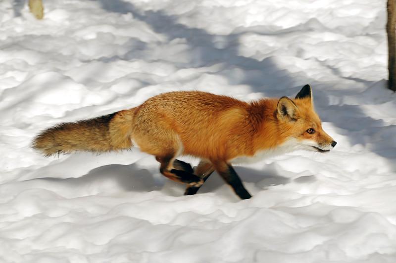 RedFox(Vulpes-vulpes)-01
