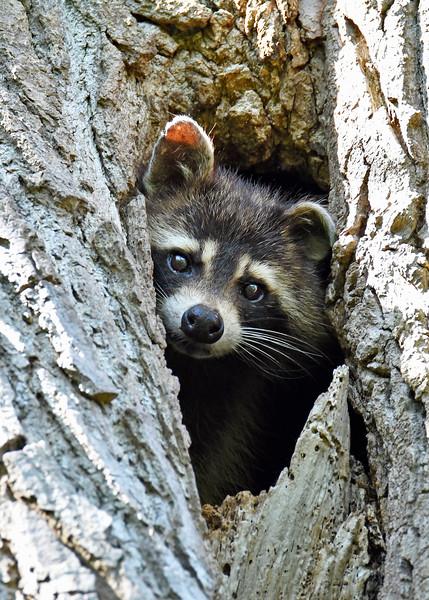 Raccoon-MM-5-16-17-SJS-003