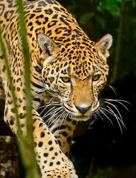 Jaguar-Bleize-2016-SJS-003