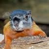 PrevostsSquirrel-StAugGatorFarm-FL-8-13-19-SJS-001