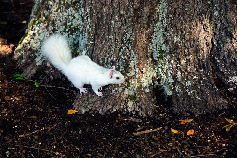 WhiteSquirrel-BrevardNC-11-3-18-SJS-44