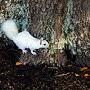 WhiteSquirrel-BrevardNC-11-3-18-SJS-44