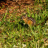 ChipmunkYellowstoneNP-sjs-001