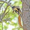 ShermanFoxSquirrel-OcalaNF-7-18-20-sjs-003