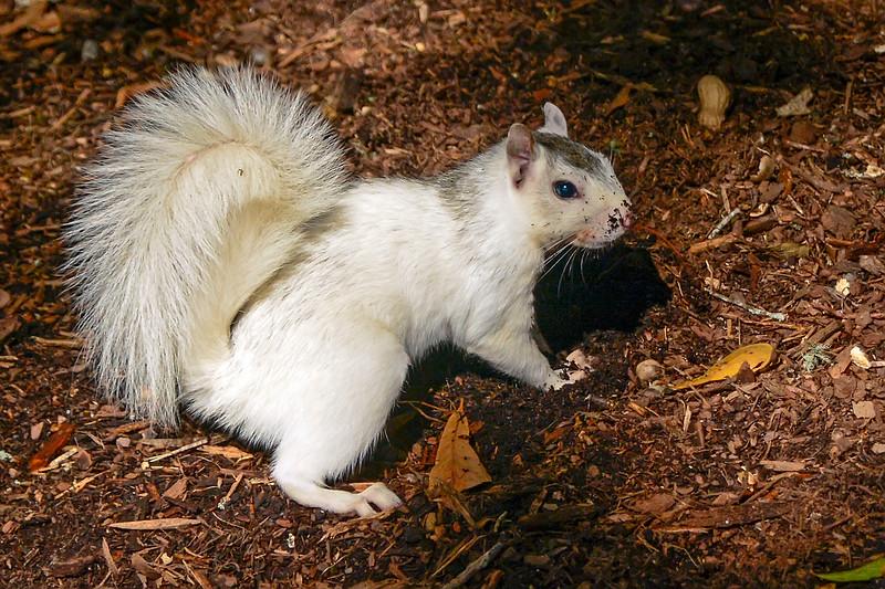 WhiteSquirrel-BrevardNC-11-3-18-SJS-33