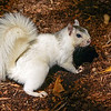 WhiteSquirrel-BrevardNC-11-3-18-SJS-33