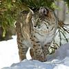 Bobcat(Lynx-rufus)-24