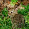 EasternCottontail506-01