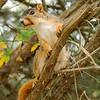 FoxSquirrel-2008-10