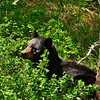BlackBearYellowstoneNP-2016-sjs-005